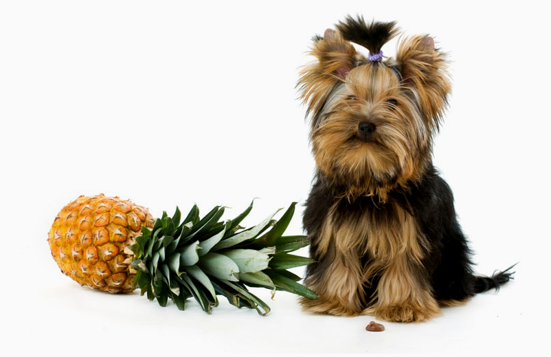 dog next to a pineapple
