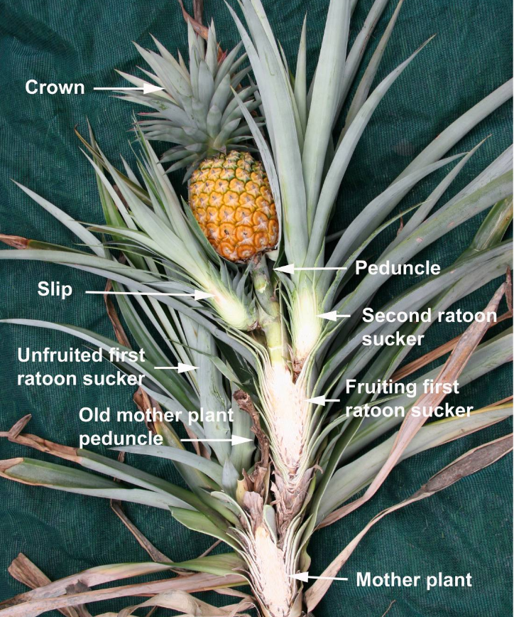 The anatomy of a pineapple plant