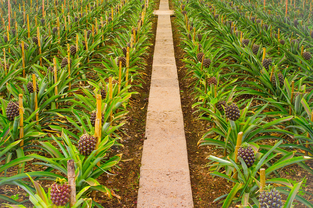 a pineapple farm in neat rows