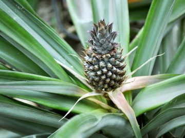 a pineapple growing on a plant