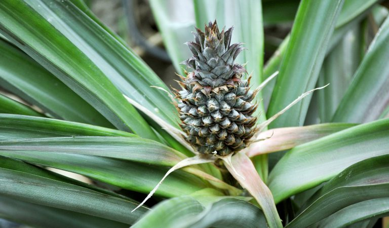 Guide: how to care for your own INDOOR PINEAPPLE PLANT