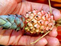dwarf-pineapple-in-hand
