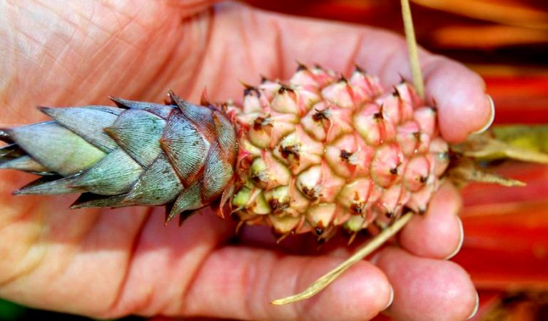 Dwarf Pineapples are everywhere, and here is where you can get your own